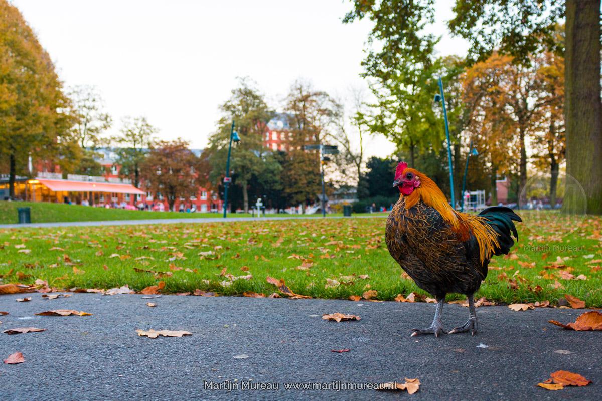 Een van de kippen in het Valkenberg park